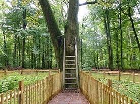 درخت بلوط عشق -آلمان